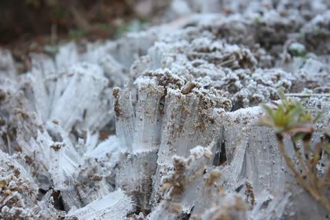 こんな立派な霜柱は久しぶりに見ました!
